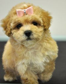 Shih Poo with bow. I wish Ladybug would let me do this to her hair! She won't sit still! Little Puppies, Cute Puppies, Cute Dogs, Shih Poo, Shih Tzu Dog, Animals And Pets, Baby Animals, Cute Animals, Shipoo Puppies