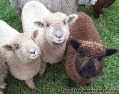 "Miniature Babydoll sheep for Mom -- 18"" full grown -- what Mom could resist sheep that stay looking like babies?"