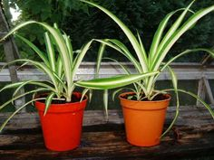 Houseplants That Filter the Air We Breathe Two Spider Plant Vittatum Babies About A Month After Planting Up Spider Plant Babies, Green Leaves, Plant Leaves, Chlorophytum, Household Plants, Garden Site, Small White Flowers, Mother Plant, Spider Plants