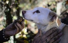 Veteran truffle hunter Ezio hunts with his dog Jolli in Alba, Piedmont, Italy.   - TownandCountryMag.com