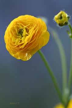 ~~Rarity! | Ranunculus 'Flore Pleno' | by Anette tv~~