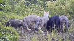 Sign the petition to Governor Inslee to stop this: On Saturday August 24, 2014, the Washington Department of Fish and Wildlife began a secret aerial gunning campaign for the Huckleberry wolf pack in Stevens County, Washington.  - See more at: http://org2.salsalabs.com/o/5868/p/dia/action3/common/public/?action_KEY=18344#sthash.51DuiwmB.dpuf
