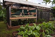 Rick and Bronwyn Cooke of Kualapau, Hawaii rigged up a bed in their tomato house when deer began raiding the vegetable garden. Photo by Mr. Cooke.