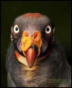 king vulture / zopilote rey by esmeralda