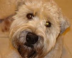 Image result for wheaten terrier 7 years old