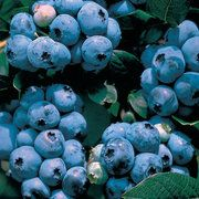 """Blueberry Shrub / Park Seed/ATTRACTS: Pheasants. They will use for berries, shelter, and cover. Important in January. """"Kentucky"""" is their favorite."""