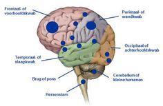 De anatomie van onze hersenen. Een korte rondleiding.