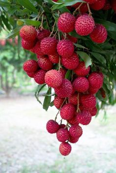 Anyone who eats the lychee fruit immediately falls in love with it. Fruit Plants, Fruit Garden, Fruit Trees, Garden Tomatoes, Growing Tomatoes, Fruit And Veg, Fruits And Vegetables, Fresh Fruit, Charlotte Au Fruit