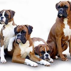 A family of Boxers