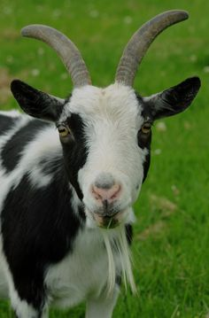 #goatvet says 17 is a ripe old age for any goat- Is Daisy Yorkshire's oldest goat?