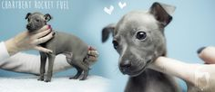 charcik włoski szczeniak #italiangreyhound #italiansighthound #iggylove #charcikwloski #chart #doglover #dog #hodowla #polska #puppy #szczeniak