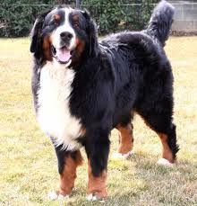 Risultati immagini per cani da guardia