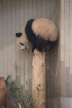 今日のパンダ(2110日目) | 毎日パンダ