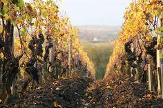 The vines of Château d'Yquem Lush Green, Bordeaux, Vines, Fruit, Travel, Outdoor, Outdoors, Bordeaux Wine, The Fruit