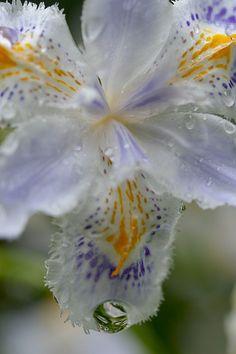 Iris japonica with raindrops