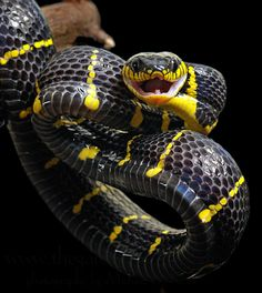 beautiful but deadly Cool Snakes, Colorful Snakes, Nature Animals, Animals And Pets, Cute Animals, Cute Reptiles, Reptiles And Amphibians, Beautiful Creatures, Animals Beautiful