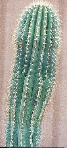 Coleocephalocereus pluricostatus