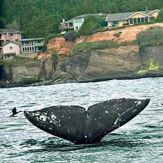 Spring is the best time to visit the Oregon coast and see gentle giants on their 12,000-mile journey to Alaska. | Coastalliving.com