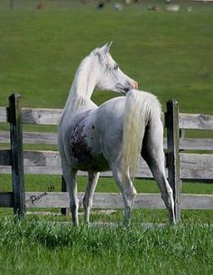 """Menouthis (BKA Imeer X REG MAdaha) This lovely grey Straight Egyptian Arabian mare has a """"bloody shoulder"""" mark on her barrel. You can find her at https://www.facebook.com/pages/5-Wells-Arabian-Farm/258905587491326 https://fbcdn-sphotos-g-a.akamaihd.net/hphotos-ak-xaf1/t1.0-9/p403x403/425173_306273112754573_1930397549_n.jpg"""