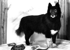 A diptheria epidemic was about to hit Nome, Alaska, in 1925. The only cure was in Anchorage, 2,800 miles away. So the serum traveled via a series of dog-sled teams during a blizzard. Finally, the medicine came to Gunnar Kaasen and his dogs, led by a Siberian Husky named Balto. Balto followed the trail all night in whiteout conditions. When they arrived to pass the serum to the final team and found them asleep, Balto continued to Nome. The Iditarod Race commemorates their run.