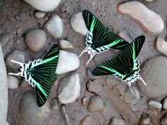 GREEN BANDED URANIA Urania leilus ©Eric Hovarth The Green-banded Urania, Urania leilus, is a day-flying moth of the Uraniidae family. It is found in South America and the Caribbean, including Trinidad, Surinam, French Guyana, Colombia, Venezuela,...