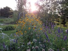 Two favorite wildflowers for your garden! Yellow Ratibida pinnata and Licorice Hyssop in the late afternoon!