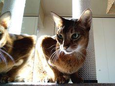 Abyssinian, Cat 2, Kitty, Animals, Little Kitty, Abyssinian Cat, Animales, Animaux, Kitty Cats