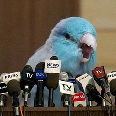 This is a meme haha 😂 _ Funny Birds, Cute Birds, Cute Funny Animals, Cute Baby Animals, Animals And Pets, Wild Animals, Cockatiel, Budgies, Vogel Memes