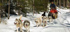 Raid en traîneau à chiens au Québec.