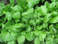 7 zöldség, amelyet októberben is termeszthetsz Lettuce, Spinach, Vegetables, Outdoor, Gardening, Humor, Outdoors, Lawn And Garden, Humour