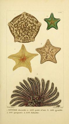 Manuel d'actinologie ou de zoophytologie, Henri-Marie Ducrotay Blainville, 1834-1836.
