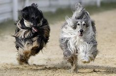 MATIN LUMINEUX - Afghan hounds on the run.