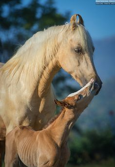 Marwari mom and foal by Ekaterina Druz Horse Photography from Horses Mad Horses And Dogs, Cute Horses, Pretty Horses, Wild Horses, Animals And Pets, Cute Animals, Baby Animals, Most Beautiful Animals, Beautiful Horses