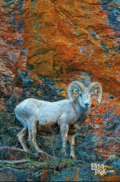 Big Horned Sheep, Rocky Mountain State Park