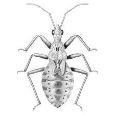 Image result for anatomical drawings bugs flies