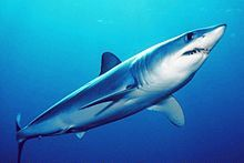 The shortfin mako shark or blue pointer, Isurus oxyrinchus, is a large mackerel shark. It is commonly referred to as the mako shark together with the longfin mako shark (Isurus paucus)