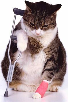 Fat cat with cast and crutch