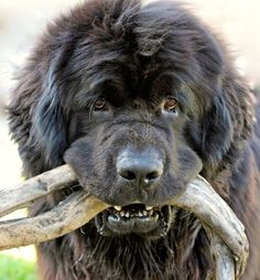 Look what I found! #Newfoundland Puppy Dog #Newfie #Newf Dogs