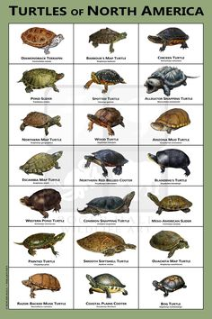 Turtles of North America Art Print / Field Guide Common Snapping Turtle, Alligator Snapping Turtle, Wood Turtle, Turtle Pond, Turtle Aquarium, Les Reptiles, Reptiles And Amphibians, Rabbit Cages, Chelydra Serpentina