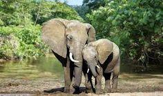「congo forest elephants」の画像検索結果