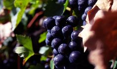 Health Benefits From Your Glass of Red Wine http://www.vintecclub.com.au/health-benefits-from-your-glass-of-red-wine/