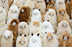 Group photo! Made of 100% alpaca wool in the Andes Mountains of Peru, these beautiful and soft alpaca toys are available for you to cuddle with online at www.alpacadoro.com #alpacas #alpacawool #alpacadoro #wool #toys #fluffytoys #stuffedanimals #fluffy #soft