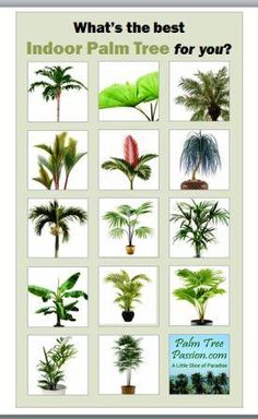 Indoor palm trees along with other guidance for planting palm trees.