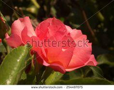 Light red rose. - stock photo