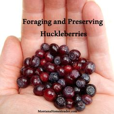 How to forage and preserve wild huckleberries. Montana Homesteader
