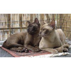 My favorite cat... Burmese