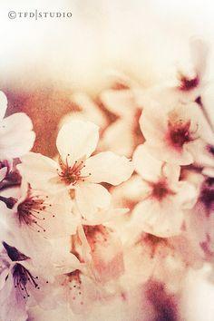 Nature Photography - Macro - Cherry Blossoms - Fine Art