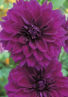THOMAS EDISON, 1929 This velvety classic is still the truest deep purple of all dahlias.