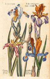 Stunning Iris Flowers Antique Botanical Print Digital by Artgaze Vintage Botanical Prints, Botanical Drawings, Botanical Illustration, Iris Flowers, Botanical Flowers, Botanical Art, Butterfly Art, Flower Art, Iris Drawing