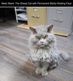 Meet Albert The Sheep Cat With Permanent Bitchy Resting Face cute animals cat cats adorable animal kittens pets kitten funny animals funny cats